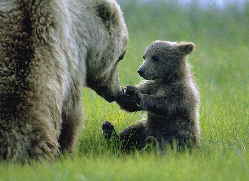 Grizzly bears cubs - photo#10