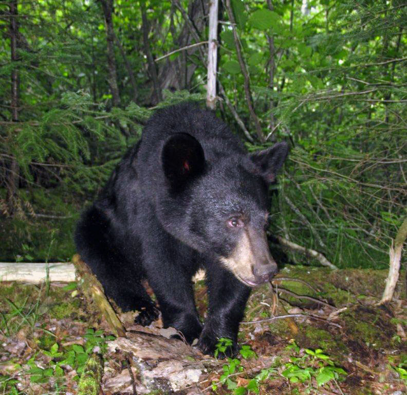black bear research paper Berries - a critical food berries are important foods throughout the black bear range the most commonly eaten berries in northeastern minnesota are sarsaparilla.