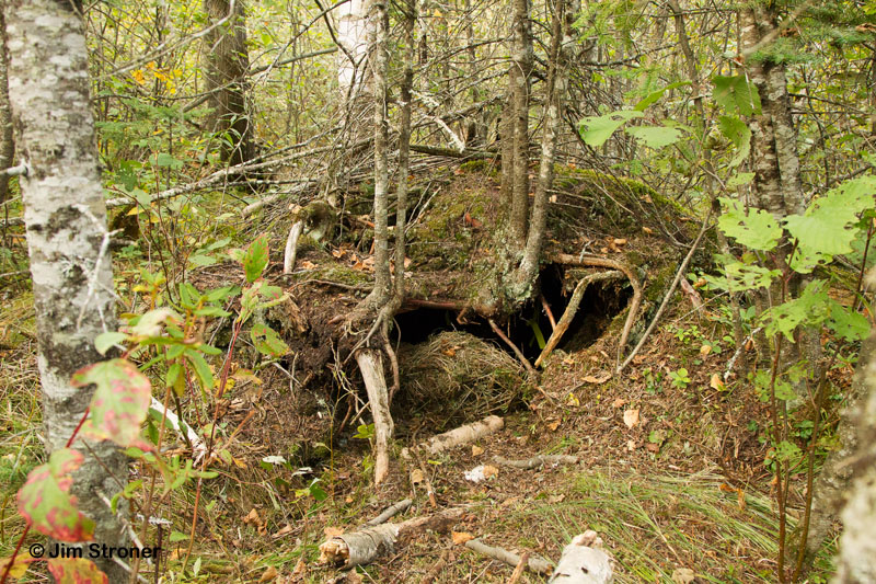 Берлога в лесу картинка