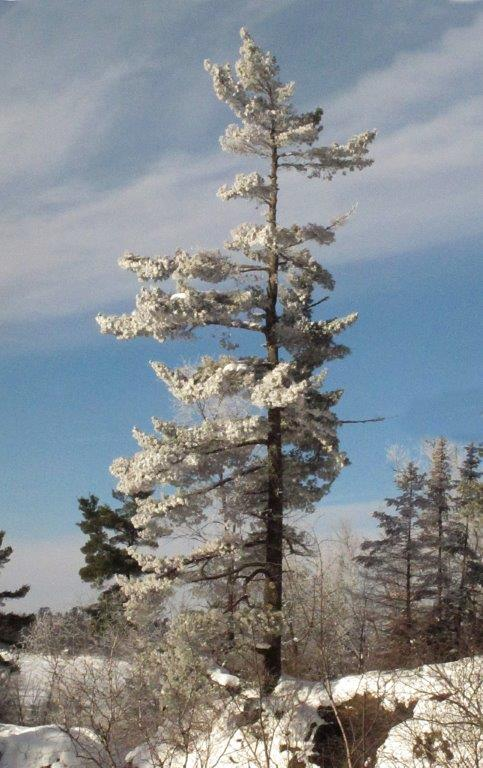 White pine frosted