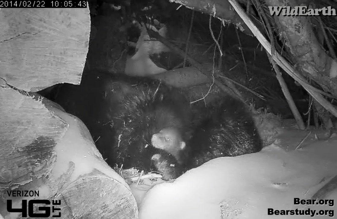 Bear eyes at night - photo#19