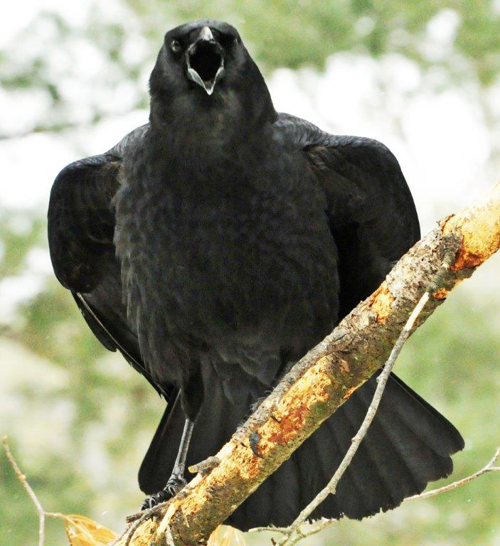 Daily update wednesday 02 april 2014 the wildlife for Fish crow call