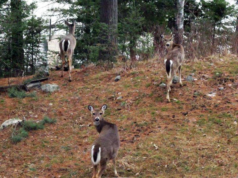 Deer lecken Heimzentrum und Bauholz