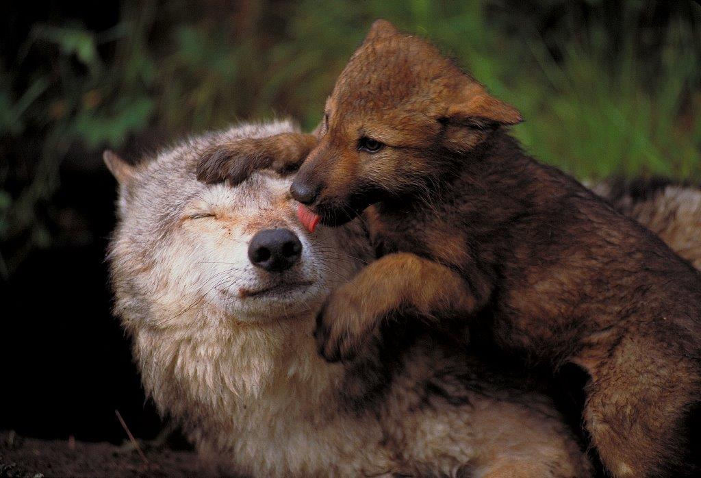 Bears and Wolves - UPDATE December 19, 2014