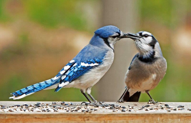 Show me a picture of a female blue jay