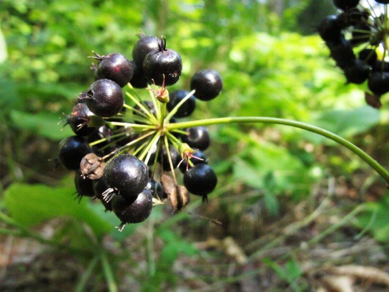Bears are taking advantage of a good crop of wild sarsaparilla berries