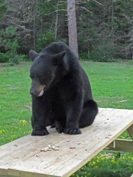 Male Bear On Picnic Table