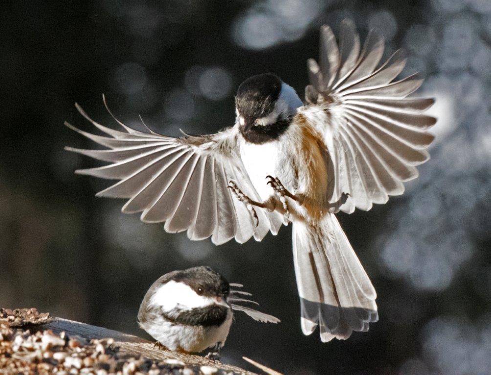 Chickadee landing - photo#8