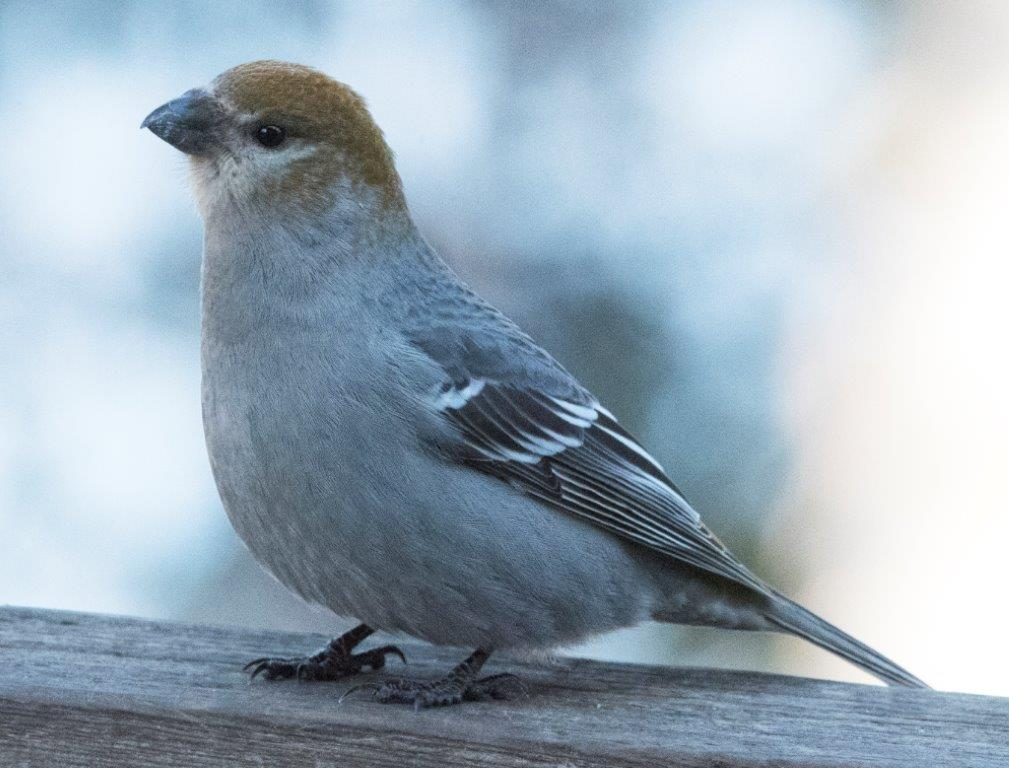 20170317 Pine grosbeak