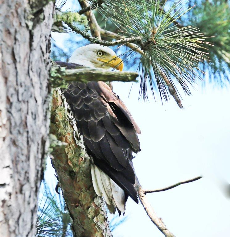 Bald Eagle by Theodos