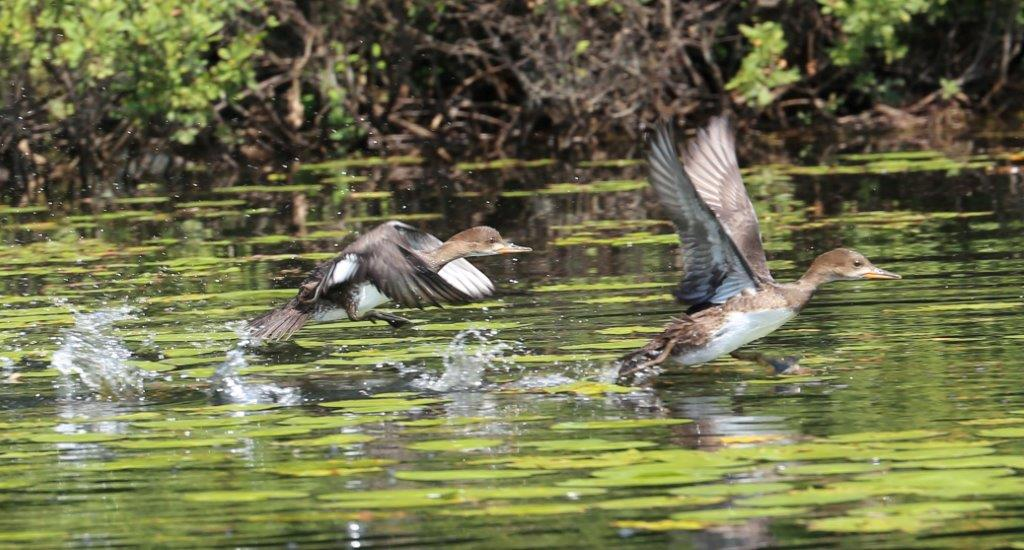 Hooded Mergansers by Andrew Theodos