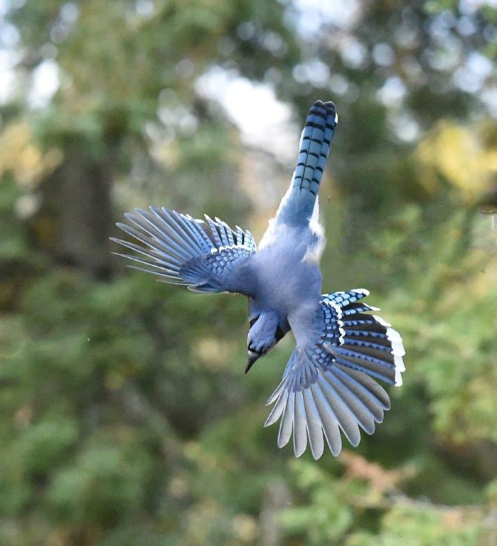 Blue jay diving