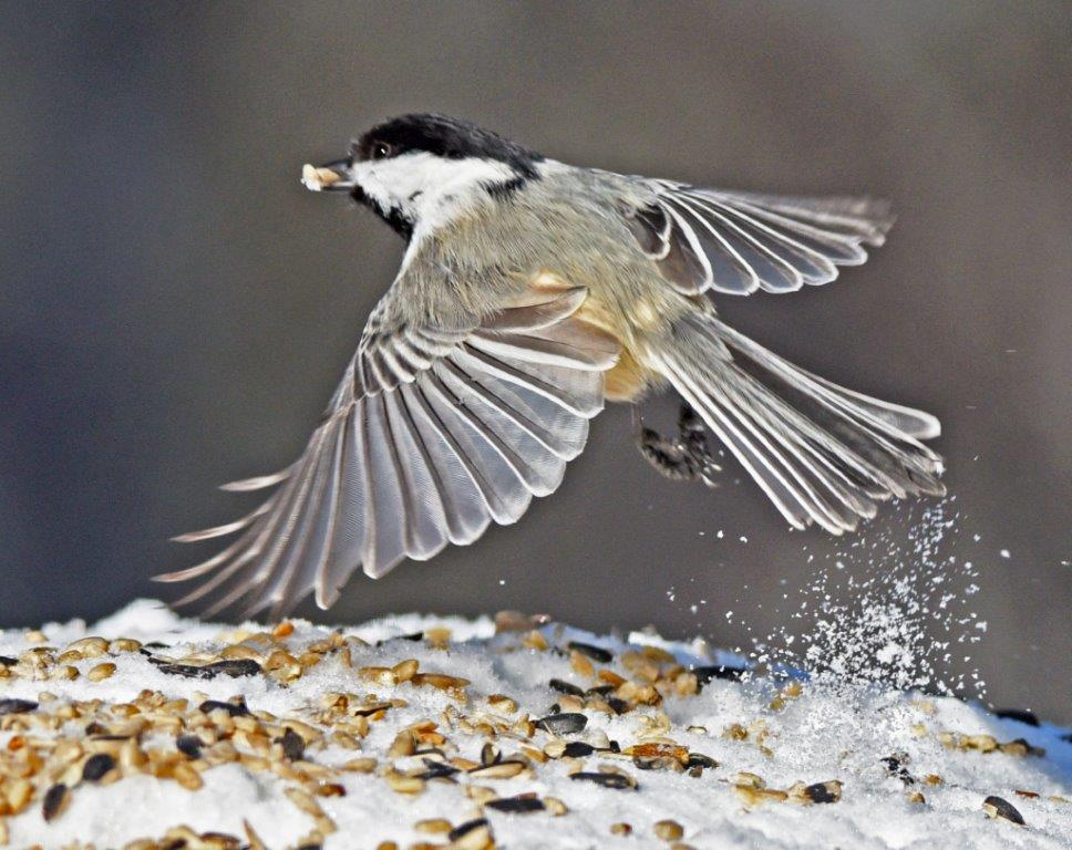 Chickadee flying