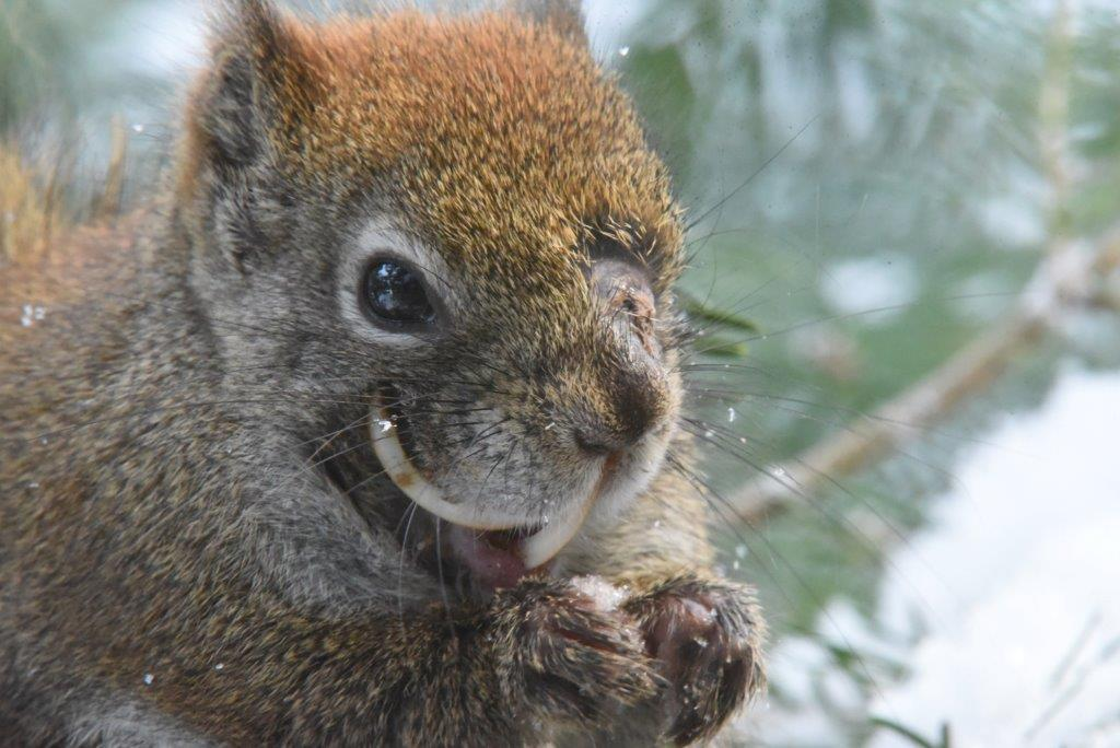Red squirrel with bad teeth