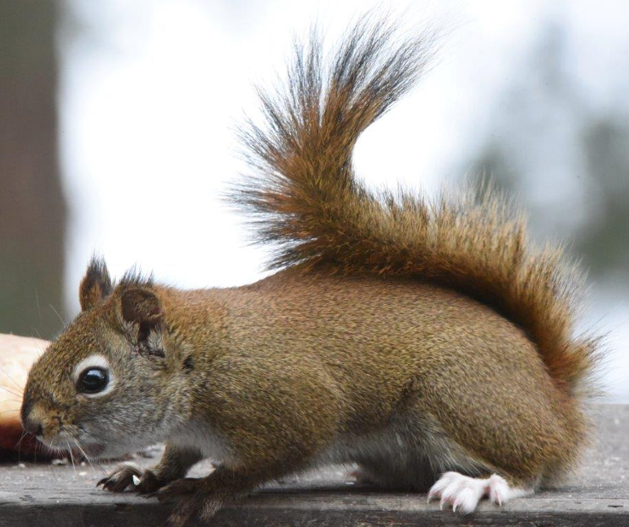Red squirrel with white feet