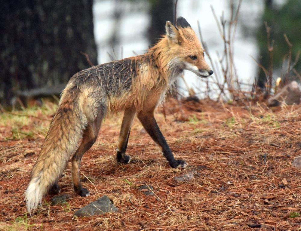Wet Red Fox