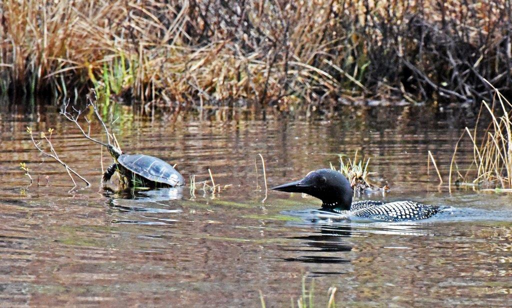 Loon and painted turtles