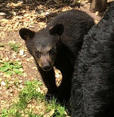 Bear News - UPDATE June 20, 2018