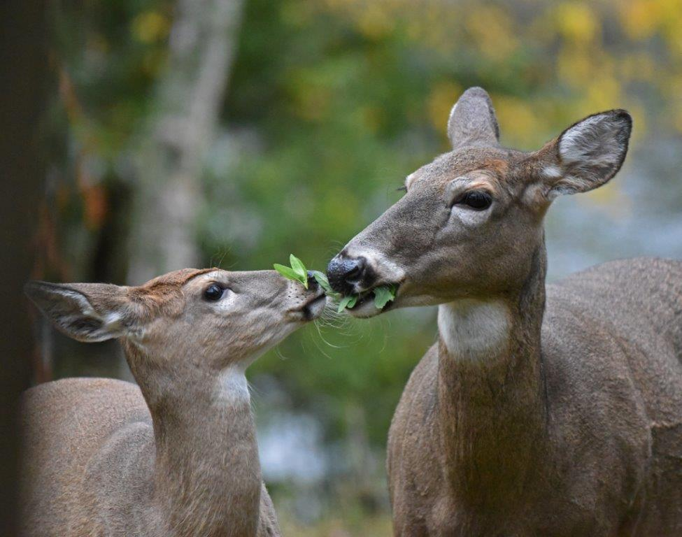 Doe and fawn sharing