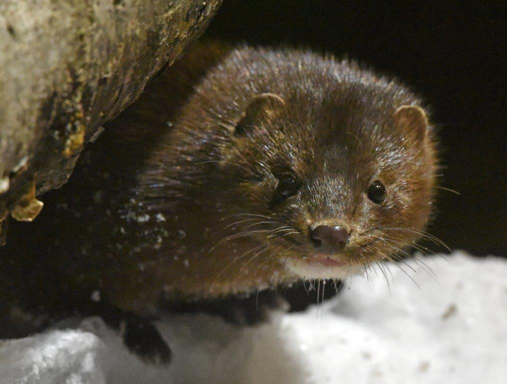 Mink female