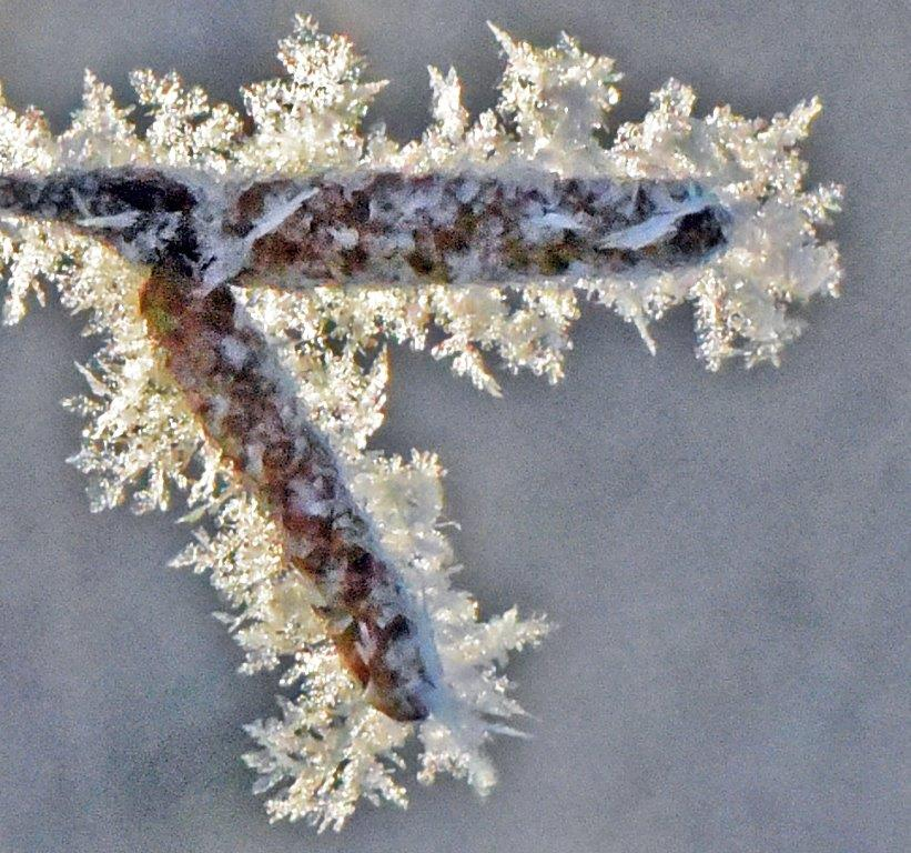 Hoar frost on birch catkins