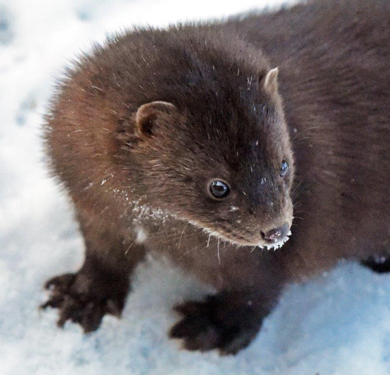 Male mink white hairs