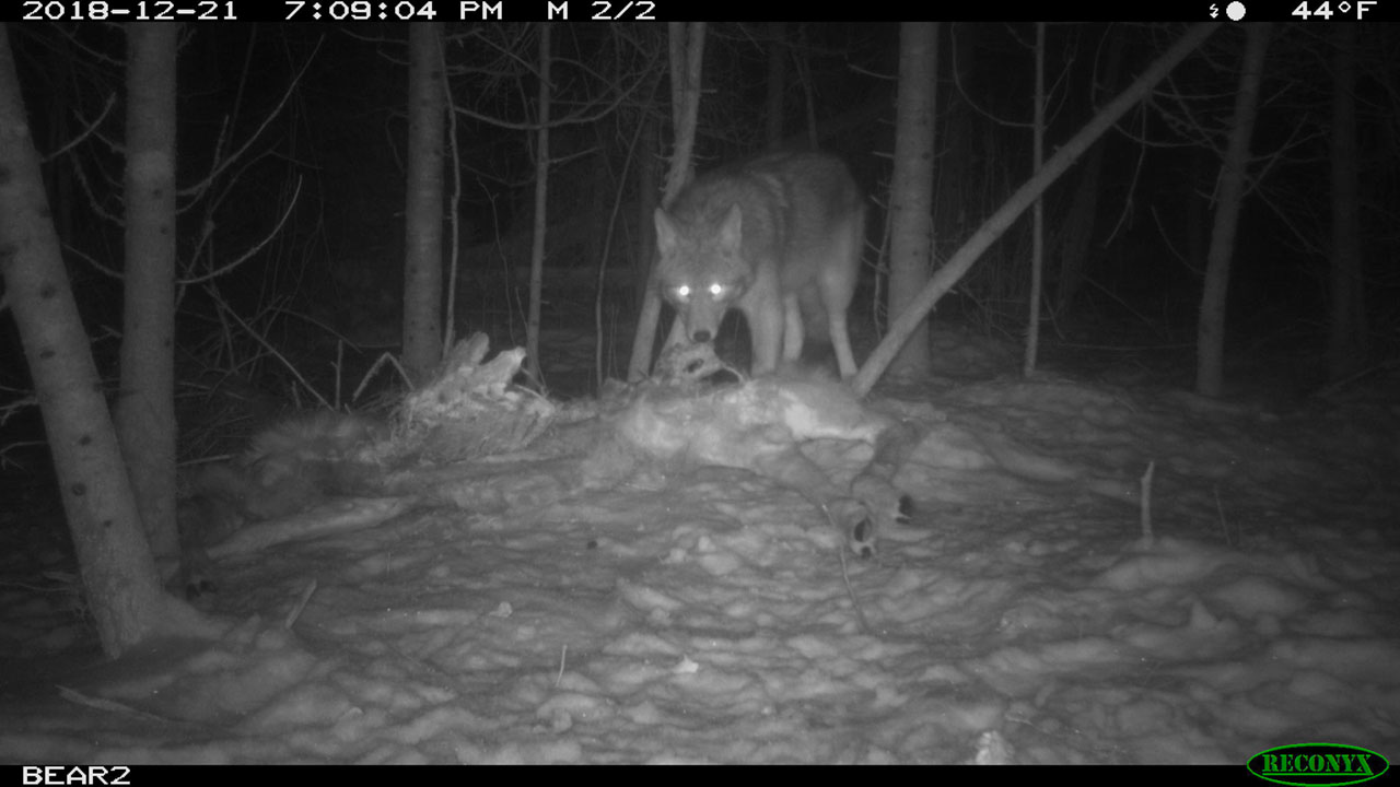 Canid with carcass